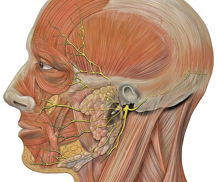 nerw trójdzielny schemat